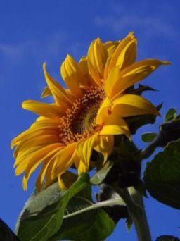 bunga matahari rawat darah tinggi